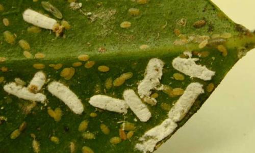 Lange woldopluis Pulvinaria floccifera