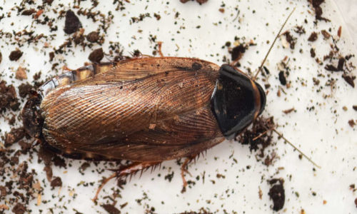Volwassen Surinaamse kakkerlak Pycnoscelus surinamensis
