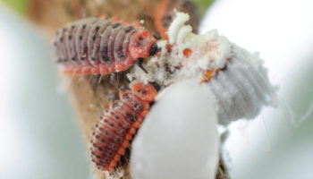 RODOLIA Rodolia cardinalis larva