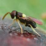 SAISIN-C - Coccophagus scutellaris bestrijder dopluis