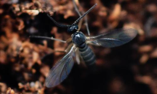 Sciarid fly grondvliegje varenrouwmug