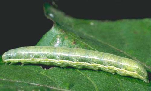 Floridamot rups Spodoptera exigua