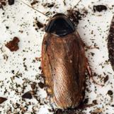 Surinaamse kakkerlak-Pycnoscelus surinamensis