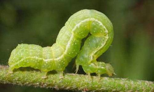 Caterpillar of the tomato looper Chrysodeixis chalcites