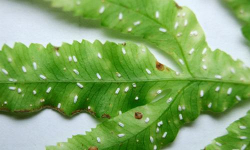 Fern scale Pinnaspis aspidistrae