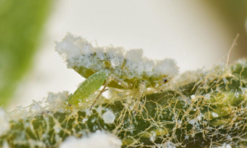 Woolly beech aphid