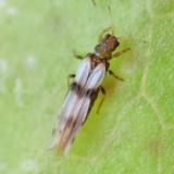Zebratrips - Parthenothrips dracaneae